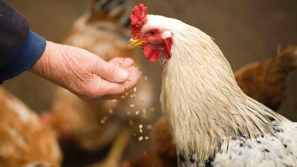 bahan pakan alternatif ayam star farm