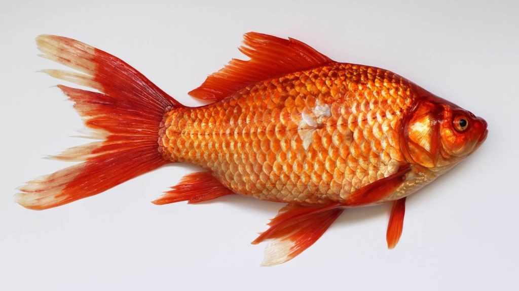budidaya ikan air tawar Star Farm