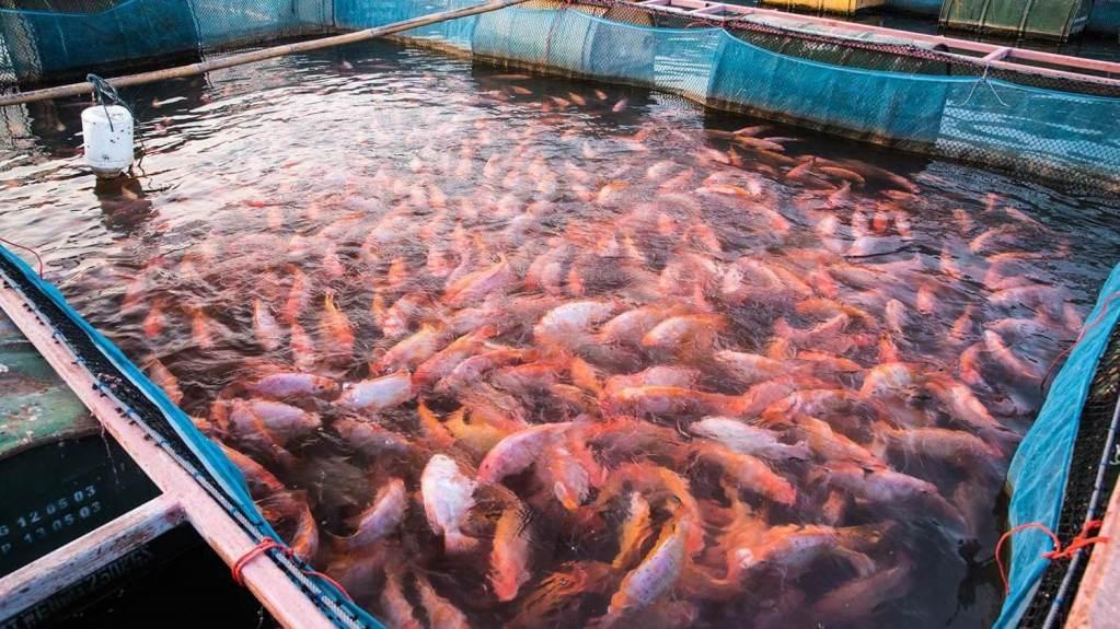 hama dan penyakit ikan nila star farm