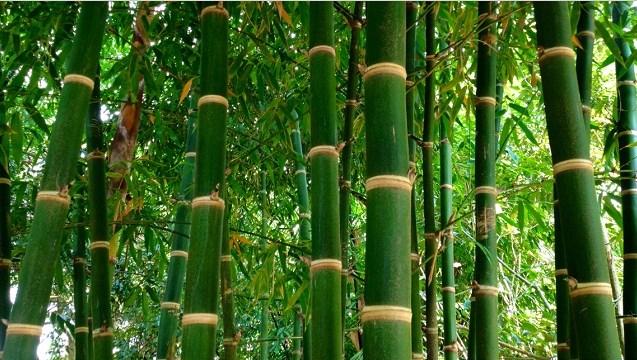 budidaya-tanaman-bambu-star-farm