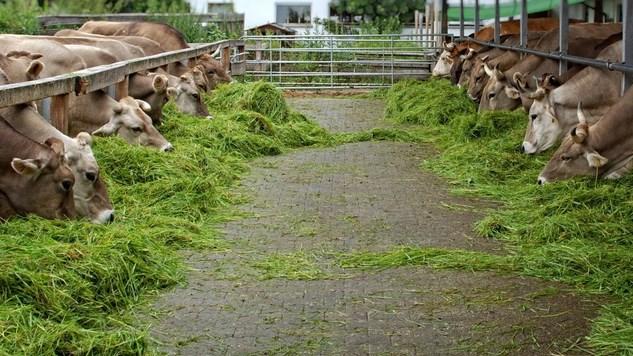 pakan-ternak-sapi-potong-Star-Farm