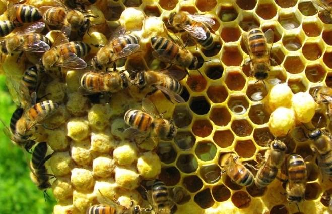 ternak lebah madu hutan