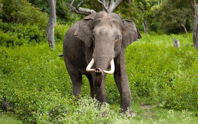 gajah-india-star-farm