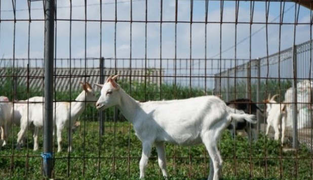 Kambing-Saanen-star-farm