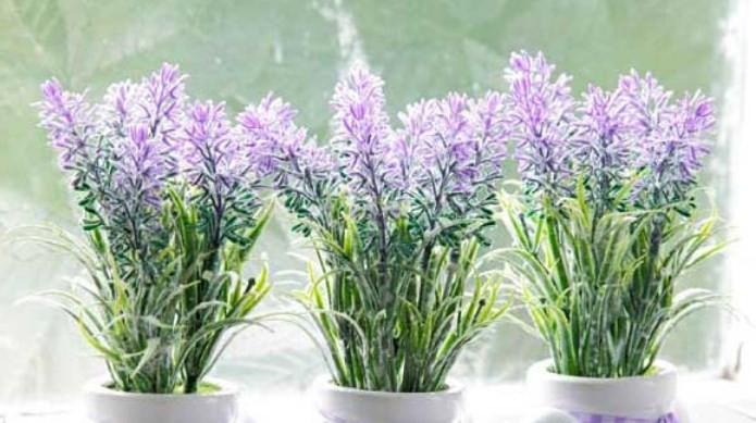 cara-menanam-bunga-lavender-star-farm
