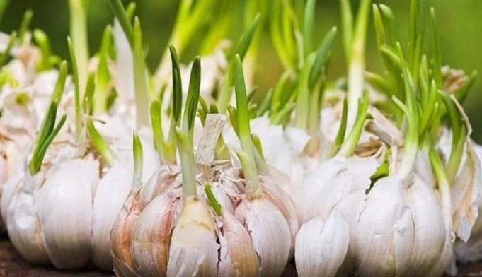 menanam-bawang-putih-star-farm