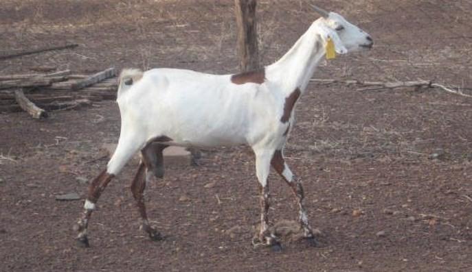 kambing-sahel-star-farm
