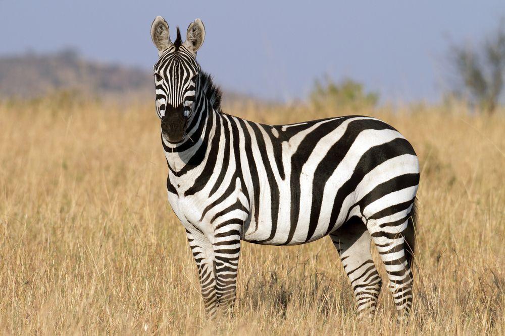 zebra tidak bisa diternakkan