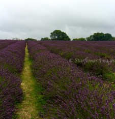 Lavender fieldIMG_2577_1024