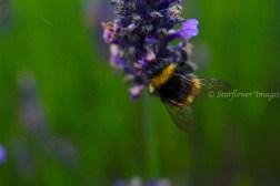 Lavender fieldIMG_2694_1024