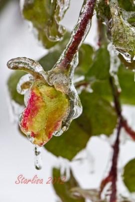 Rosebud on Ice
