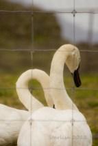 Swans_ScheinerFarms-wo-8635
