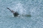 Osprey_fishing_5727