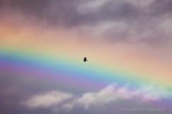 Rainbow-Eagle_7582 - Copy