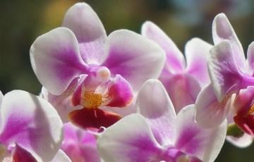 hybrid-phalaenopsis-1672447_640