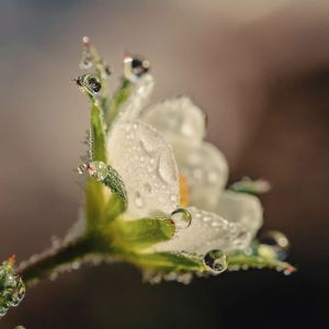 flower essence remedy