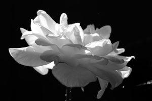 White Rose Oregon 18 August 2020 Black and White Copyright Steve J Davis