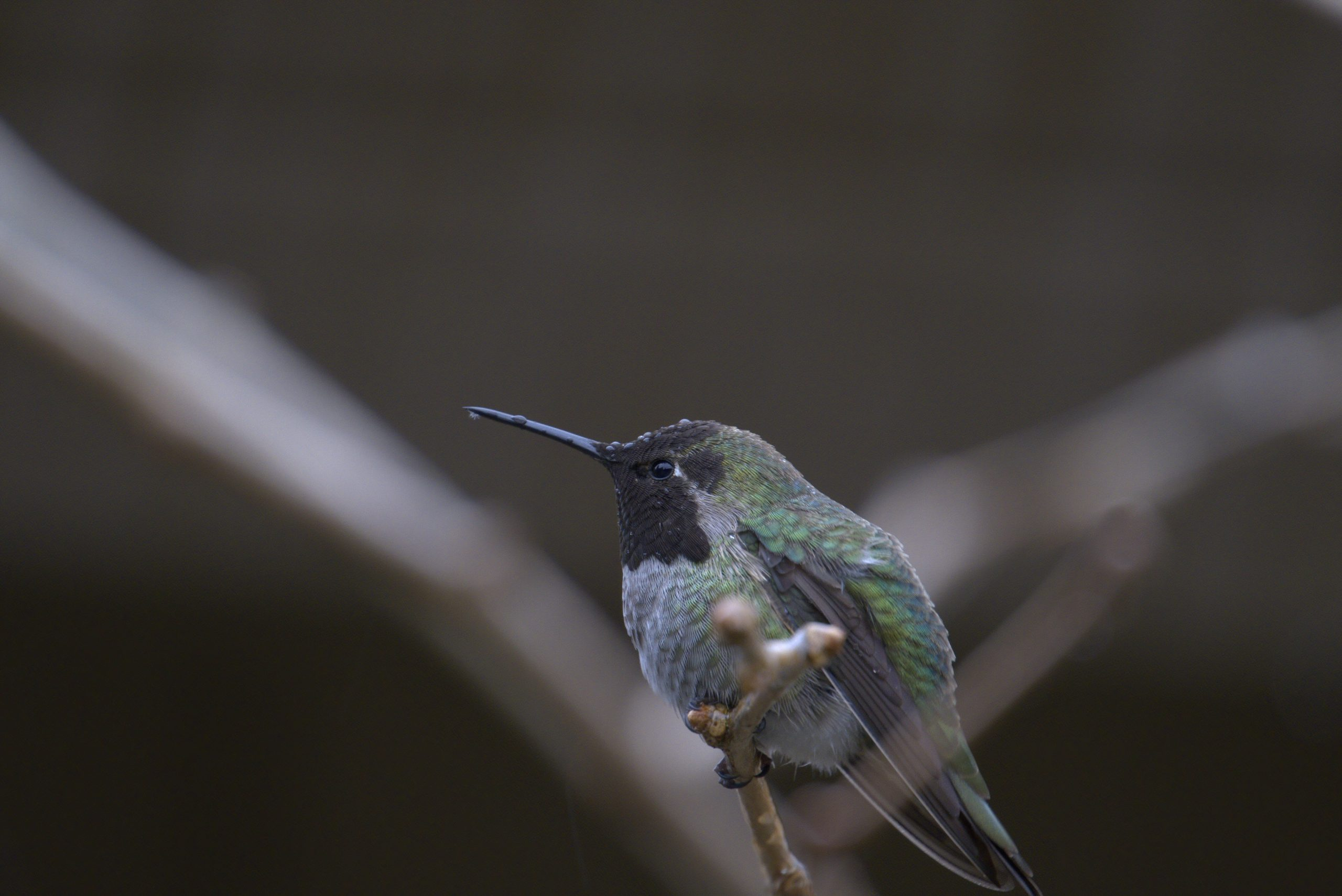 Hummingbird 11 Feb. 2021 Oregon Copyright Steve J Davis