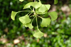 Ginkgo_Oregon 2 May 2021 Copyright Steve J Davis