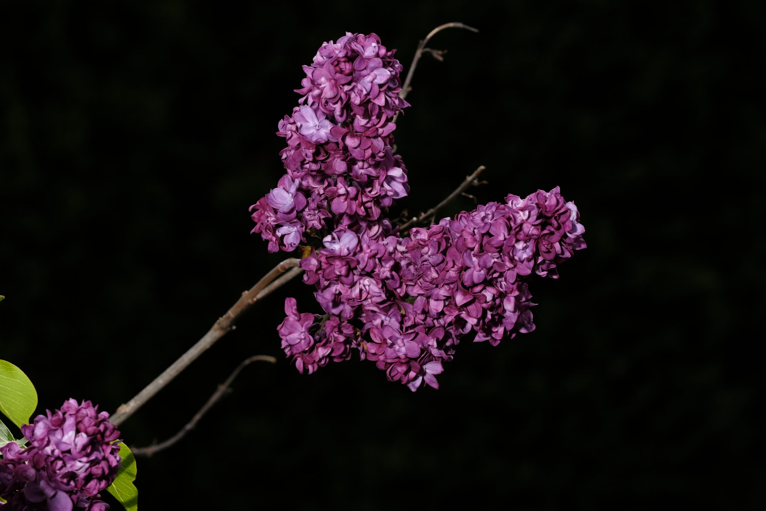 Lilac_Oregon 2 May 2021 Copyright Steve J Davis