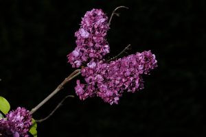 Lilac_Oregon 2 May 2021 Copyright Steve J Davis