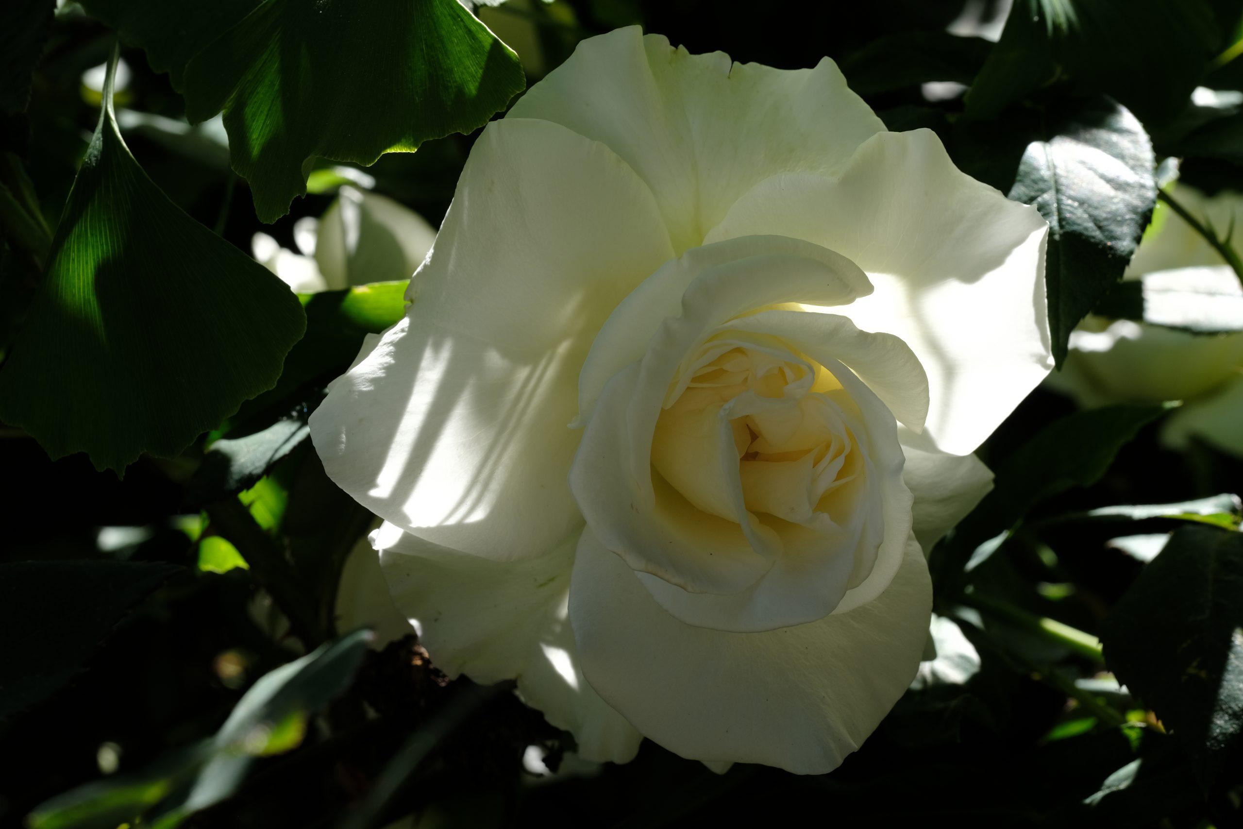 White Rose Oregon 16 May 2021 Copyright Steve J Davis