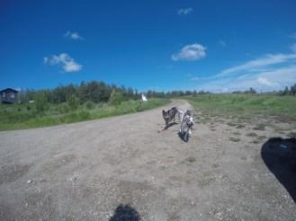 Tiffa the 3-legged dingo