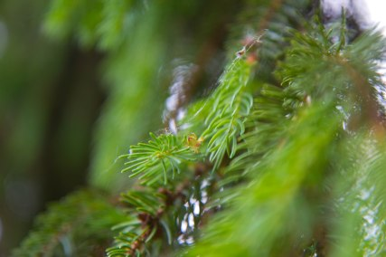can you spot the camouflaged little spider among the green pine needles?