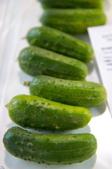 little little gherkins for up for judging at the New York State Fair