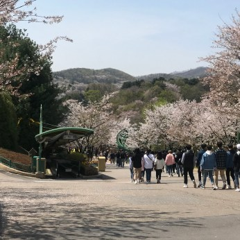 but lucky us the theme park was filled with cherry blossoms!