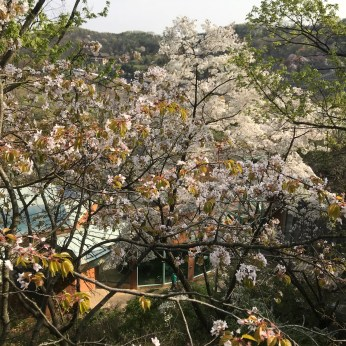 pretty cherry blossom view from the theme park