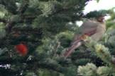 CardinalIMG_8532
