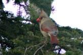 CardinalIMG_8540
