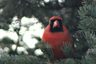 CardinalIMG_8557