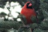 CardinalIMG_8562