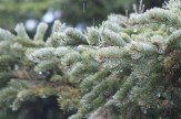 Dripped upon spruce