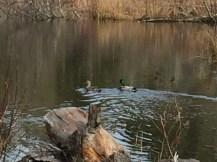 Ducks back on the pond