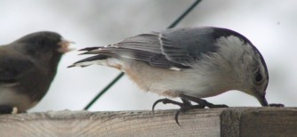 NuthatchIMG_7926