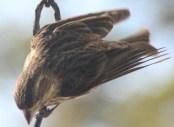 Downward facing bird