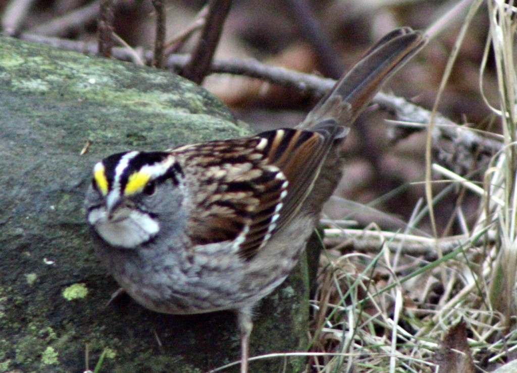 I can't believe this White-throated Sparrow is sticking around