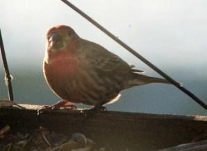 First finch