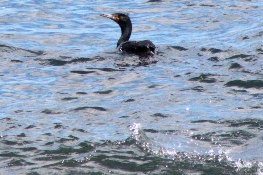 And then a Double-crested Cormorant dropped by for a fishy lunch