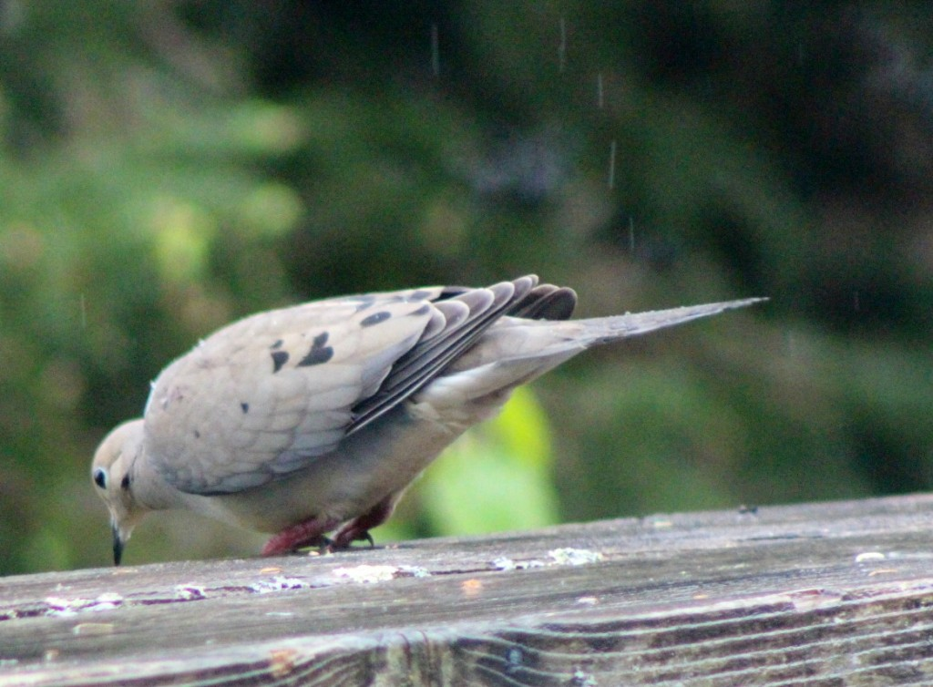 A glimpse of the elusive mourning dove