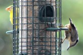 Nuthatch and goldfinch