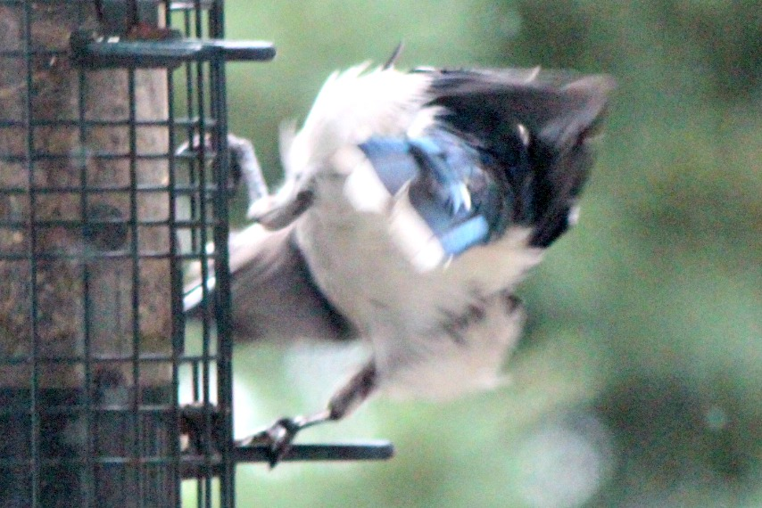 Pugnacious jay shakin' his tail feathers