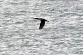 Cormorant5