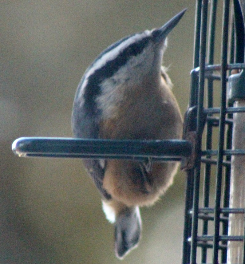 The reticent nuthatch spends a little time