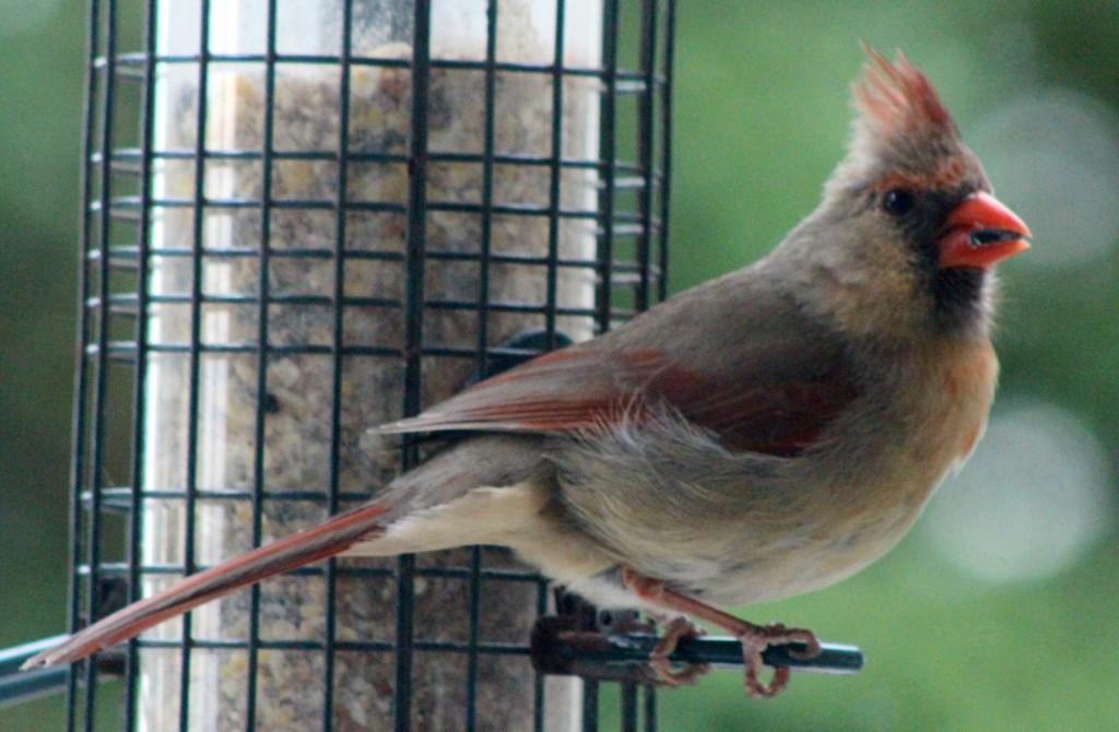 Cardinal15