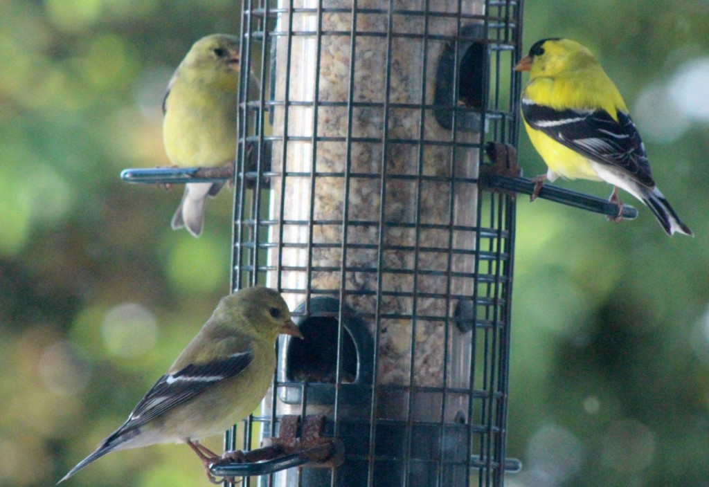 The goldfinch family visits