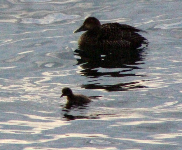 Baby eiders at breakfast time